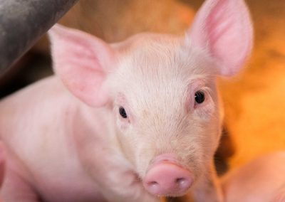 Pig-Swine-Farm-images-13